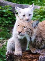 Baby Lynx by PedroHamers