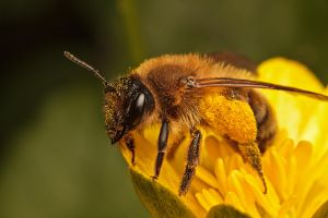 Andrena Flavipes by snomanda