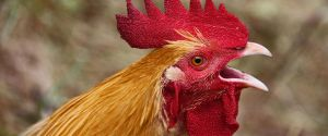 When the Rooster Crows by MyPhotoParadise