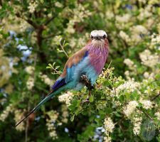 Lilac Breasted Roller by AfricanObserver