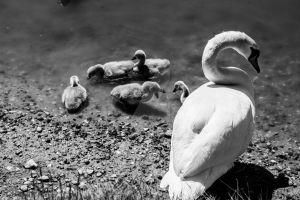 Swan and Cygnets by StephanieHadley