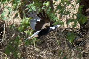 Magpie taking off by dottys-friend