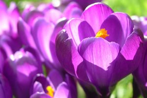 Crocus by LilyOfTheVally