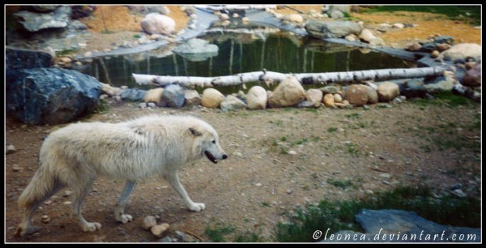 White Wolf of Minnesota by Leonca