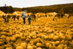Pumpkin Picking by richardbrady