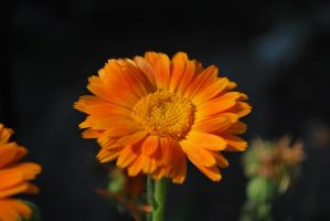 marigold by Solct