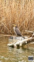 Great cormorant by Nostromo1986