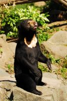 Alert Sun Bear by Shadow-and-Flame-86