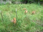 Fenced In Fawns 3 by Windthin
