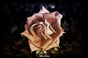 Spinning Rose by Zamolxes