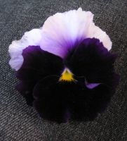 Pansy on Pants by LaRene