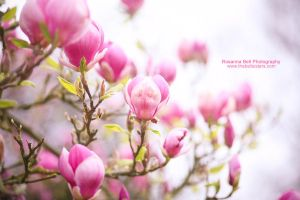 Magnolia - Day 84 by rosannabell