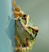 Tree Frog by donahube