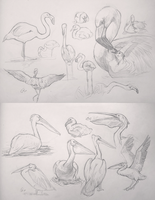 sketches water-birds by AlaxendrA