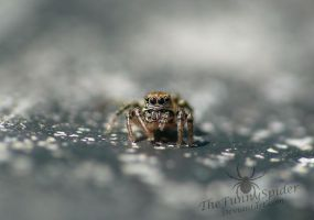 Striped Jumping Spider - Phlegra fasciata by TheFunnySpider