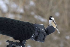 Chickadee Takes a Photo by lenslady