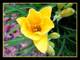 Young Day Lily by KaleyObsidia