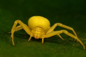 crab spider summer 2009 by macrojunkie