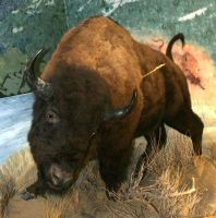 MoA Museum 172 Bison by Falln-Stock