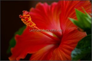 Hibiscus 2 by KWilliamsPhoto