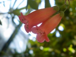 Pink bell shaped flowers by Twister4evaSTOCK