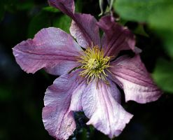 clematis by awjay