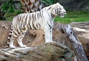 pretty white tiger by mandykat