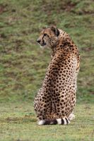3467 - Cheetah by Jay-Co
