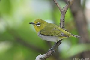 Oriental White Eye by garion