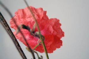 Poppy 1 by dpt56
