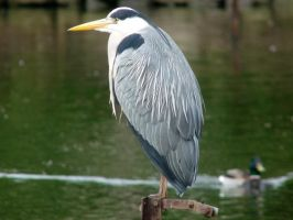 Grey Heron by lucybaxter