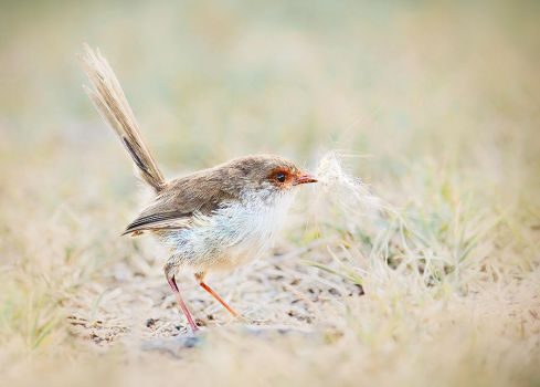 Playful Fairywren by Whimsical-Dreams