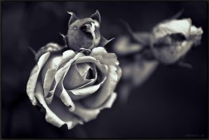 Yesterday's rose endures.. by Exparte-se