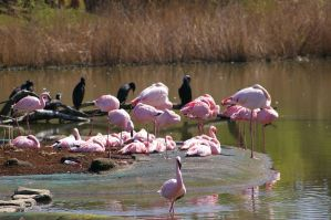 Flamingos II by expression-stock