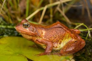 Red common frog in pond by AngiWallace