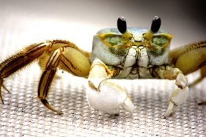 Crabby by shelbskat