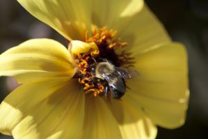 Bee by 1amnick