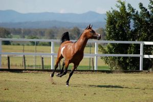 GE arab pinto cantergallp frontside head tail up by Chunga-Stock
