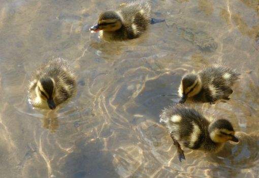 Ducklings1 by chaosia-photos