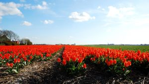 It is tulip time again in NL by jchanders