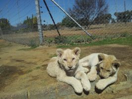 Lion Cubs by Nexyla