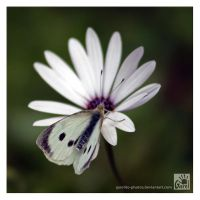 Large White by Garelito-Photos