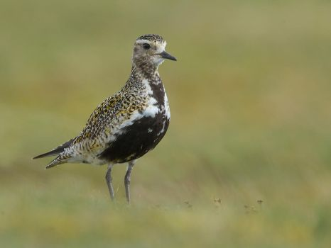 Golden Plover by Jamie-MacArthur