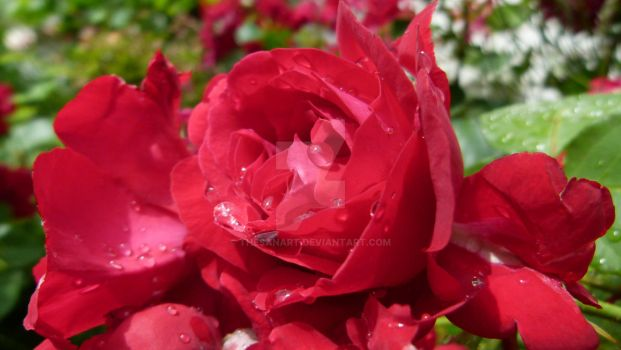 Red rose (Drops) by ThesanArt