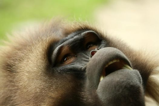 Baboon by williamdaros