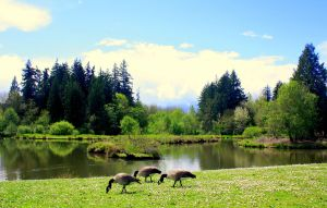 Geese on the Green by AshleyLeePhotography