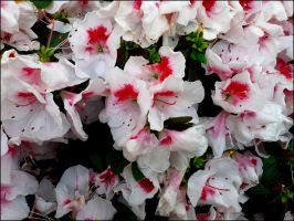 Rhododendron 5 by MadleneP