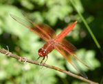 Dragonfly - flame skimmer by AccessAccess