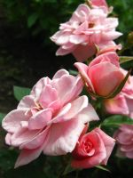 Beautiful Roses by gsdark-stock