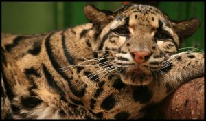 Clouded leopard by Draghonia